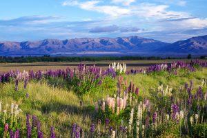 A field near Tekapo full of Foxglove flowers in New Zealand.